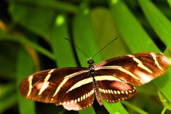 Butterfly, Zebra Heliconian in aviary, Florida Royalty Free Stock Photography
