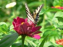 Butterfly on Zenia Stock Photos