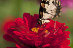 Butterfly on Zenia Royalty Free Stock Photography