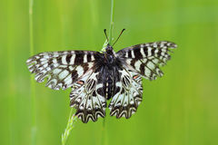 Butterfly (Zerynthia polyxena) on spring meadow Stock Photos