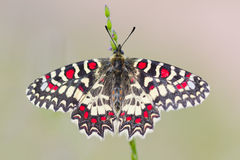 Butterfly zerynthia rumina Stock Photography