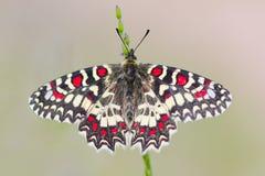 Butterfly zerynthia rumina Stock Photography