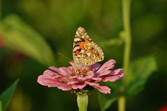 Butterfly on zinnia - Araschnia levana. Summer garden Royalty Free Stock Photo