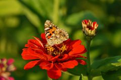 Butterfly on zinnia - Araschnia levana. Summer garden Royalty Free Stock Images