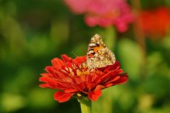 Butterfly on zinnia - Araschnia levana. Summer garden Stock Photo