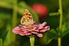 Butterfly on zinnia - Araschnia levana. Summer garden Stock Image