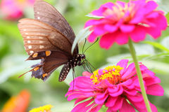 Butterfly on Zinnia flower Stock Photography