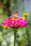 Butterfly on zinnia flower Royalty Free Stock Photo