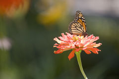 Butterfly on a Zinnia Flower. Colorful Monarch butterfly in a Zinia garden Stock Photography
