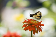 Butterfly on a Zinnia Flower. Tiger Swallowtail Butterfly on an Orange Zinnia Flower Stock Image
