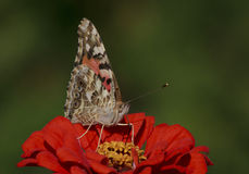 Butterfly on zinnia flower Royalty Free Stock Images