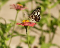 Butterfly and Zinnia flower Stock Photography
