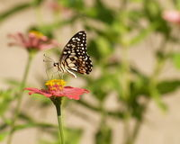 Butterfly and Zinnia flower Stock Images