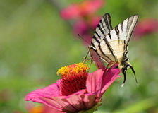 Butterfly on zinnia Stock Photography