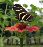 Butterfly on Zinnia. Zebra Longwing butterfly getting nectar from a Zinnia in a Florida flower garden Stock Photos
