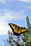 Butterfly and Zinnias. Monarch butterfly on busg with blue sky background Royalty Free Stock Photos