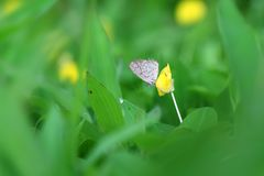 Butterfly Zizina otis indica/Lesser Grass Blue sits on the yellow flower Arachis pintoi.  Stock Photos