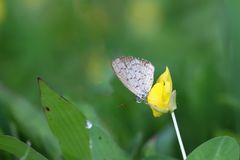 Butterfly Zizina otis indica/Lesser Grass Blue sits on the yellow flower Arachis pintoi.  Stock Photography
