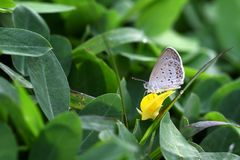 Butterfly Zizina otis indica/Lesser Grass Blue sits on the yellow flower Arachis pintoi.  Stock Image