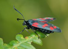 The butterfly Zygaena filipendulae royalty free stock photography