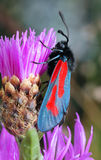 The butterfly Zygaena filipendulae Royalty Free Stock Photos