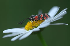 Butterfly Zygaena filipendulae - close up Stock Image