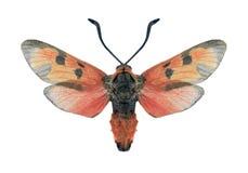 Butterfly Zygaena laeta Royalty Free Stock Photos