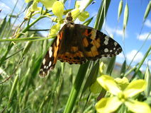 Butterfly1 Foto de Stock Royalty Free