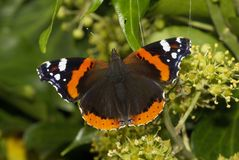 Butterfly54 Royalty Free Stock Photos