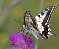 Butterfly7 Royalty-vrije Stock Fotografie