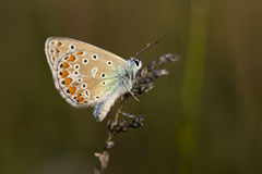 Butterflye azul común Foto de archivo libre de regalías