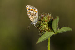 Butterflye azul comum Foto de Stock