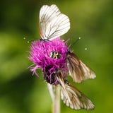Butterflyes капусты Стоковые Фото