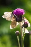 Butterflyes капусты Стоковая Фотография