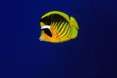 Butterflyfisch diagonal Photographie stock