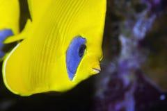 butterflyfish屏蔽了 免版税库存照片
