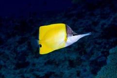 butterflyfish长的鼻子 免版税库存照片