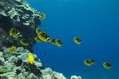 butterflyfish ρακούν Στοκ εικόνες με δικαίωμα ελεύθερης χρήσης