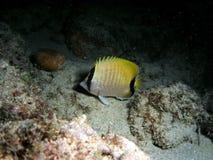 butterflyfish σκόπελος Στοκ Εικόνα