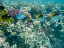 2 butterflyfish арлекина и 2 butterflyfish табака Стоковая Фотография RF
