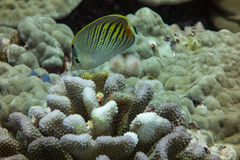 Butterflyfish захода солнца Стоковые Изображения RF