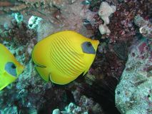butterflyfish золотистое стоковая фотография