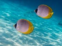 2 butterflyfish панды Стоковая Фотография