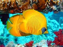 Butterflyfish Image libre de droits