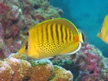 Butterflyfish Imagens de Stock Royalty Free