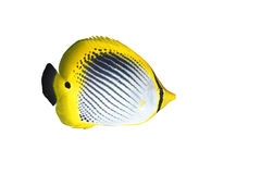 Butterflyfish. A tropical striped butterflyfish isolated on white background Stock Photos