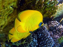 Butterflyfish Stockfoto