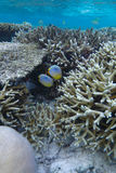 butterflyfish zdjęcie royalty free