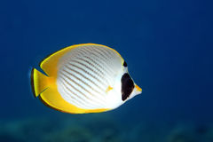Butterflyfish. A Panda, or Philippine Butterflyfish, Chaetodon adiergastos, swimming underwater with a blue background. Tulamben, Bali, Indonesia. Bali Sea Stock Images