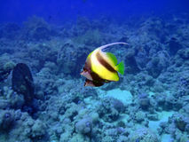 Butterflyfish. Two Heniochus Black & White butterflies.Red sea stock photography